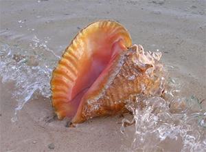 bermuda-queen-conch-bermuda-wildlife